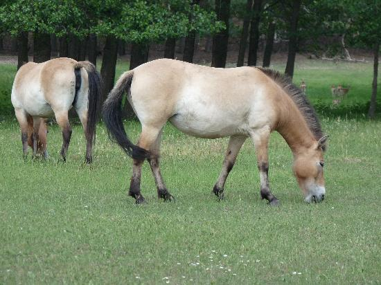 Wildpark Schorfheide: Przewalski-Pferd