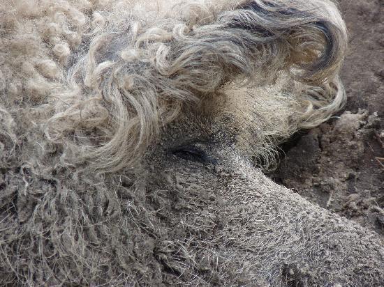 Wildpark Schorfheide: Schwalbenbauch-Mangalitza-Wollschwein