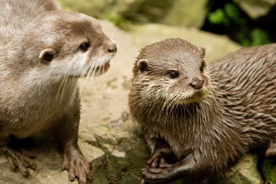 Oceanarium: Bea and Buster, the Oriental small clawed otters
