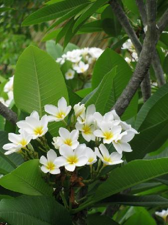 Club Seabourne: BEAUTIFUL frangipani trees in the hotel premises!