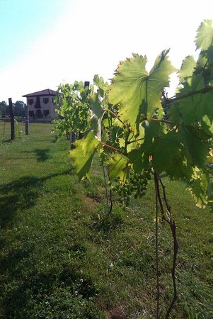 Jamestown, PA: Grape Vines at Lago Winery