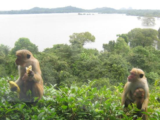 Heritance Kandalama : There are monkeys everywhere :)