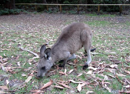 Sandholme Guesthouse: You didn't have to drive far to see the kangaroos!