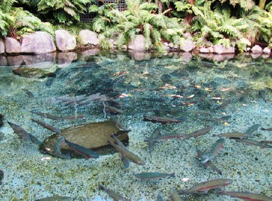 Rainbow Springs Nature Park: Trout in the pool - it's an interesting story as to why they are there!