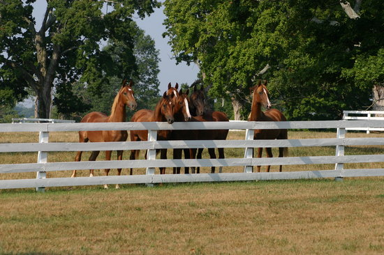 "Shelbyville, KY: American Saddlebred Capital of the World ""Yearlings"""