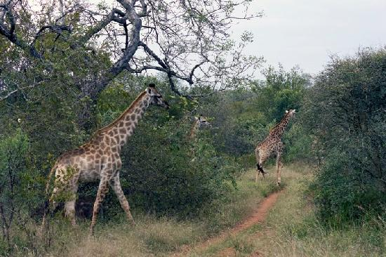 Makalali Private Game Reserve, Sydafrika: Giraffe