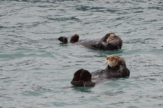 Seward, AK: Sea otters