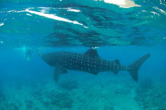 Padre Burgos, Filipinas: Whale Sharks  Sogod Bay Scuba Resort