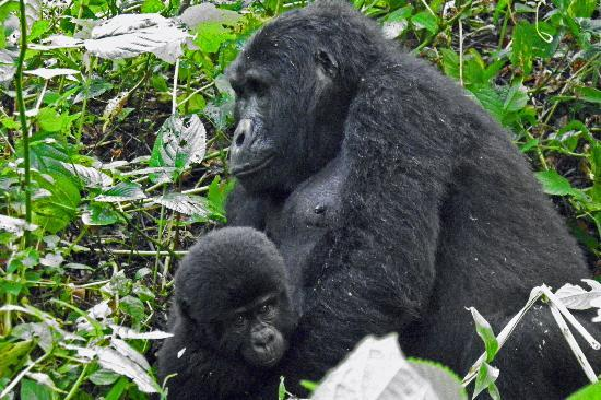 Bwindi Impenetrable National Park: Bwindi Gorilla