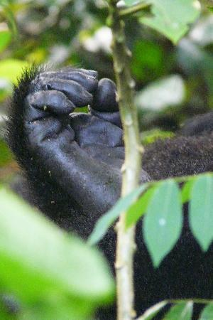 Bwindi Impenetrable National Park: Gorilla hands