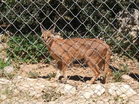 Parc Zoologique Henri de Lunaret: caracal