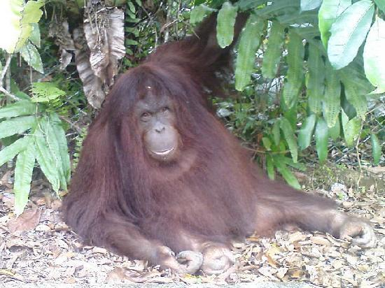 Sabah, Malasia: Up close with the Orang Utan