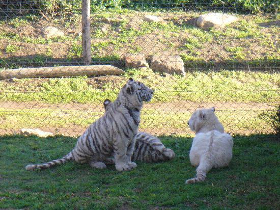 Cango Wildlife Ranch: tigri bianche del Bengala