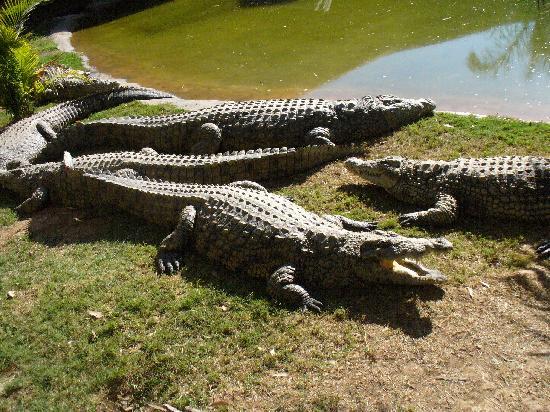 Cango Wildlife Ranch: coccodrilli