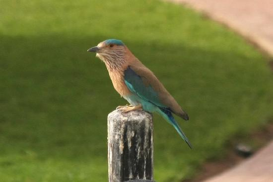 Al Ain Rotana Hotel: An Indian Roller in the gardens of the Al Ain Rotana.