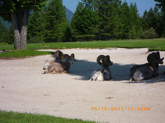 Radium Hot Springs, Kanada: Bighorn sheep in first hole fairway bunker.