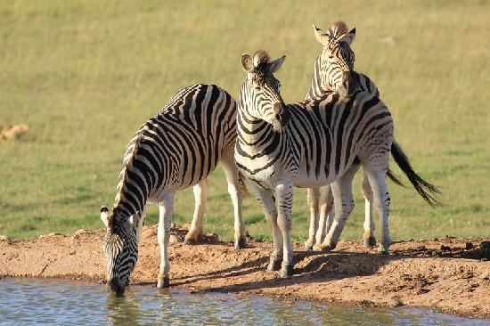Gorah Elephant Camp: zebra at pond in front of lodge