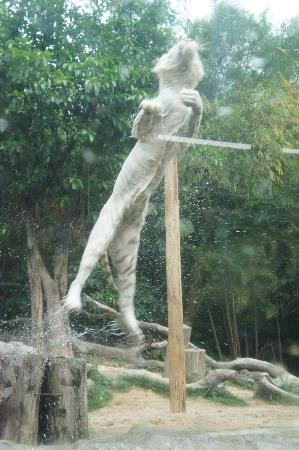 Chimelong Safari Park : Jumping tiger show