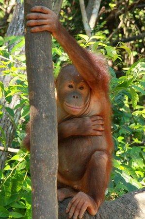 Tuaran, Malaysia: Orang utan
