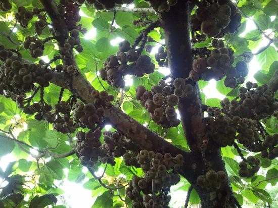 Polaycad Bungalow: Unbelievable figs!