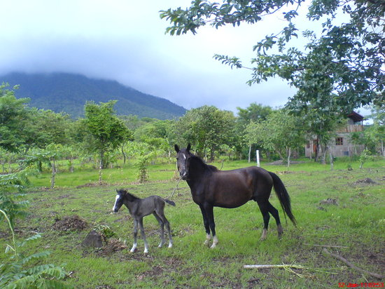 Haris'horses : Piombo and mum Pulverita in front of madera volcano
