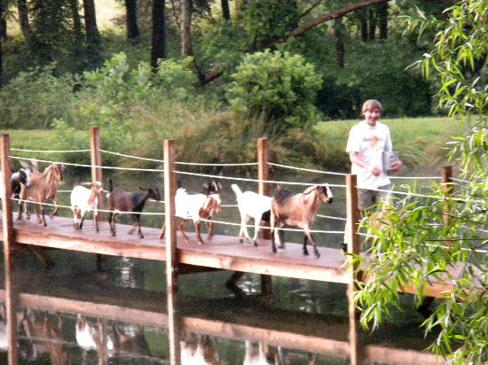 Vanquility Acres Inn: Goats coming across the bridge...