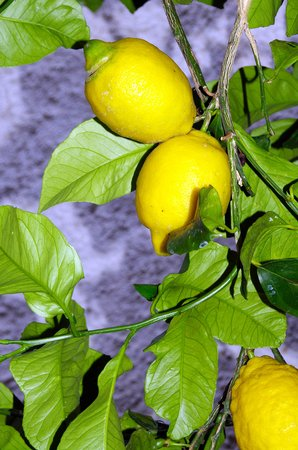 Hotel Ca D'Andrean: i limoni