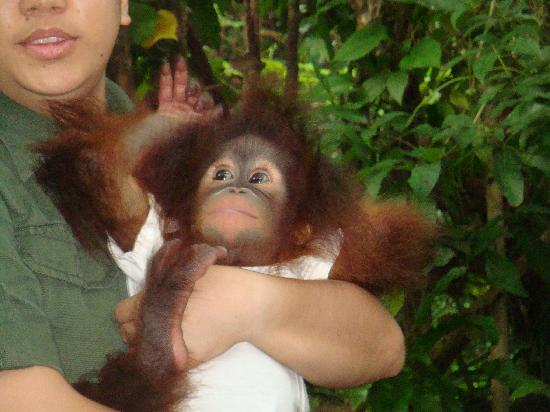 Shangri-La's Rasa Ria Resort & Spa: 10 weeks old-she was abandoned by her mother