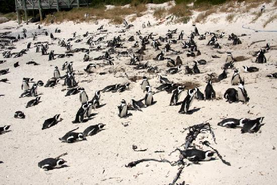 Boulders Beach: Penquin galore