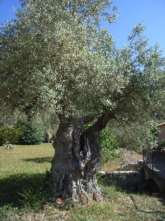 Finca Honor Vell: Olivenbäume