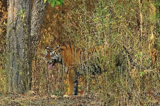 Kanha Jungle Lodge: Tijger