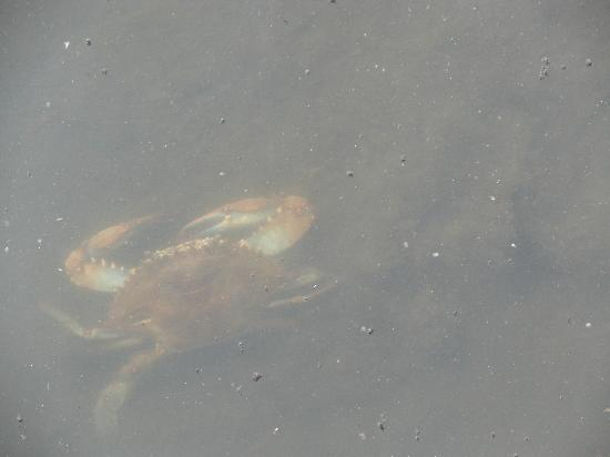 Meadowlands Conservation Trust: crab at the Meadowlands