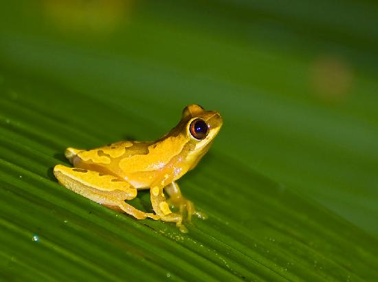 Bosque del Cabo Rainforest Lodge: Hourglass Tree Frog