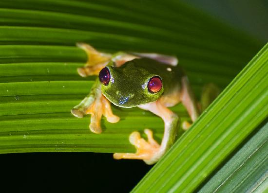 Bosque del Cabo Rainforest Lodge: Red-eyed Tree Frog
