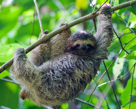 Bosque del Cabo Rainforest Lodge: Juvenile Sloth