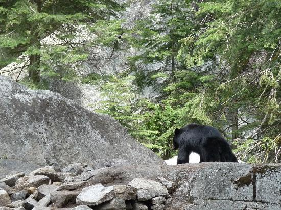 Three Rivers, Kaliforniya: The bear that was on the trail.