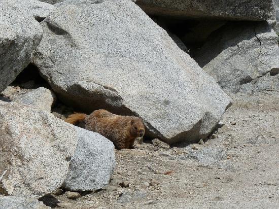 Three Rivers, CA: The beaver like animal