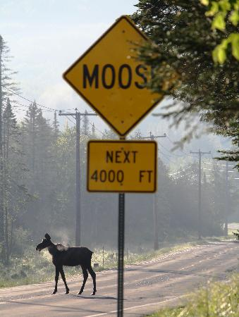 Island Pond, VT: moose on the road