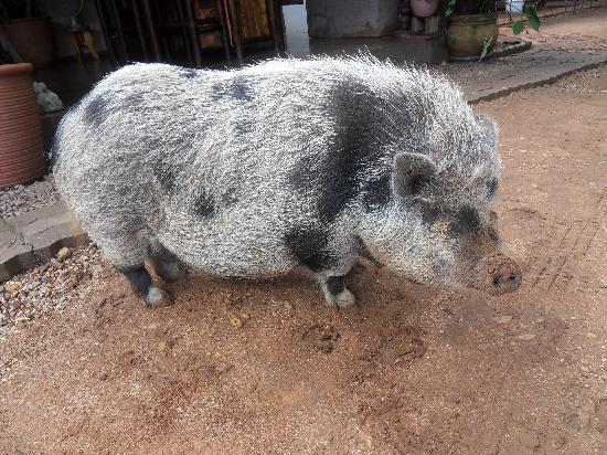 Mokolodi Backpackers: The house Pig