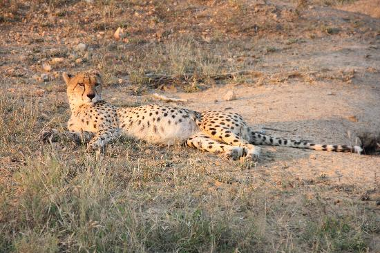 Monwana Game Lodge: Cheetah near the camp