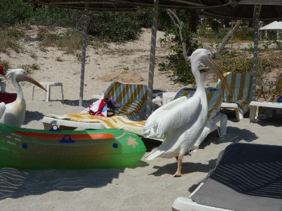 Anonymous Beach Hotel: visit of the Pelicans on Nissi beach