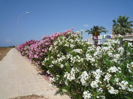 Anonymous Beach Hotel: Oleander shrubs along beach walks