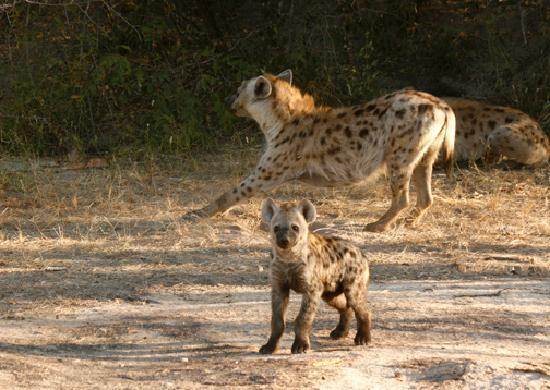 Shiduli Private Game Lodge: Hyenas at Den
