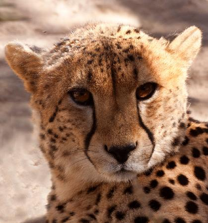 Shiduli Private Game Lodge: Young Male Cheetah