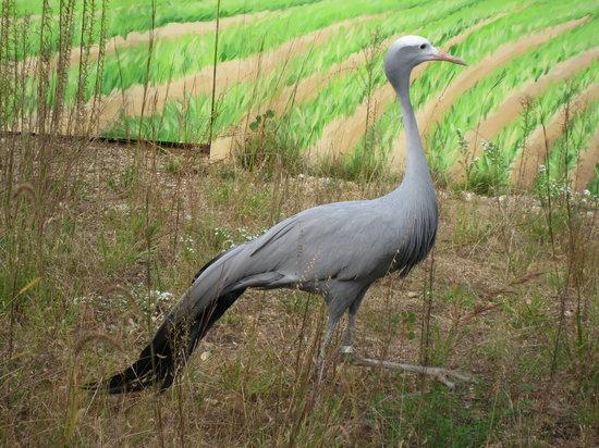 International Crane Foundation : Blue Crane