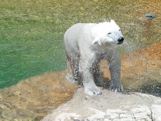 Denver Zoo: polar bear