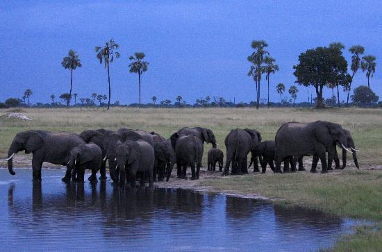 Hwange, Zimbabwe: Elephants at pan at dusk-oncoming thunderstorm.