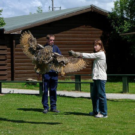 Screech Owl Sanctuary: Joe, the Eurasian Eagle Owl, flying to the glove
