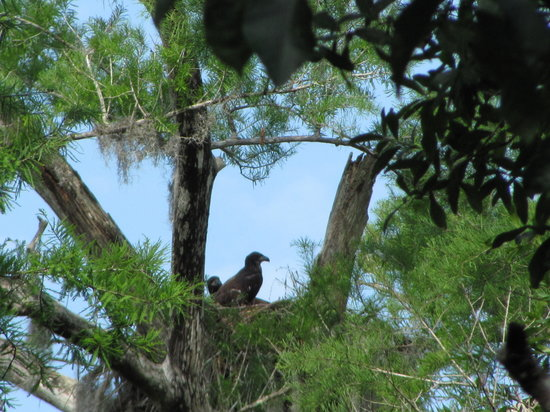 Copeland, FL: Eagles nest