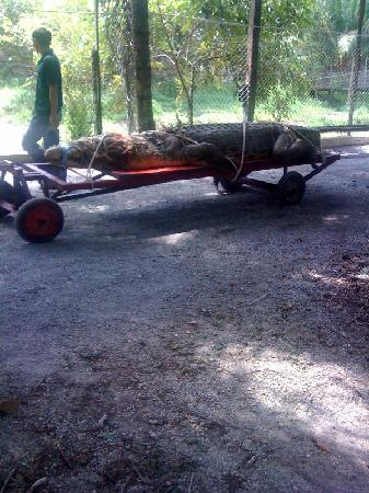 Jong's Crocodile Farm & Zoo : Dead Corcodile